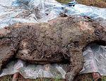 hallazgo de un rinoceronte lanudo congelado hace 20.000 años published in Ciencia y educación