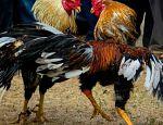Un gallo mató a su dueño en la India published in Offtopic