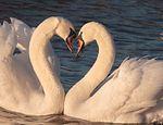 Cisne que se separó de su pareja, no puede creer que lo volverá a ver publicado en Offtopic