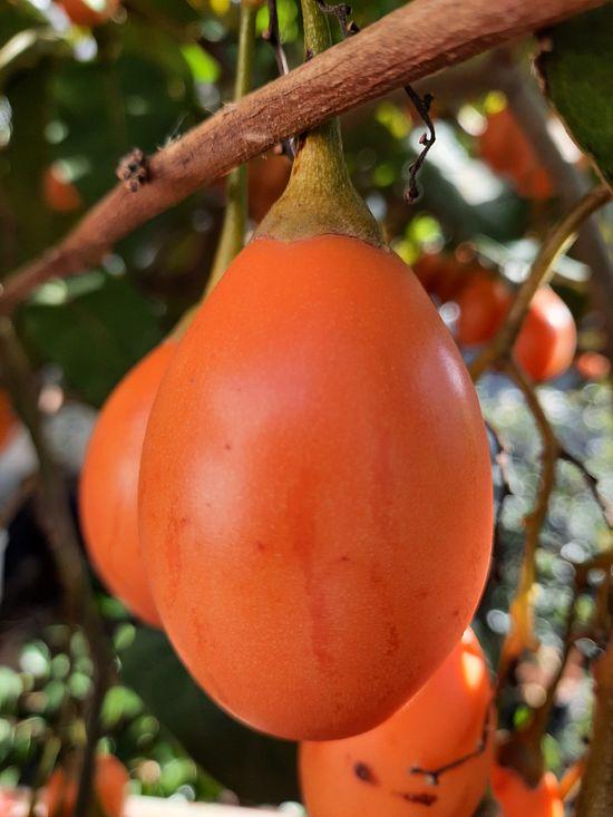 Tengo Tomate de árbol naranja y te lo muestro! published in Offtopic